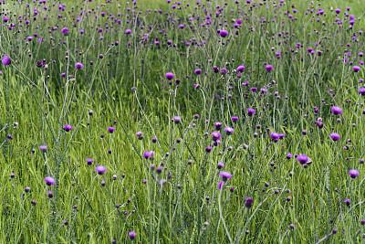 自然,紫色,春天,野花,田地,活力,浪漫,禅宗,色彩鲜艳,柔和色
