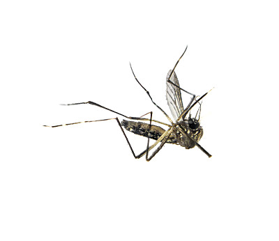 蚊子,死亡的动物,白色背景,留白,水平画幅,上下颠倒,接种疫苗,动物身体部位,野外动物,特写