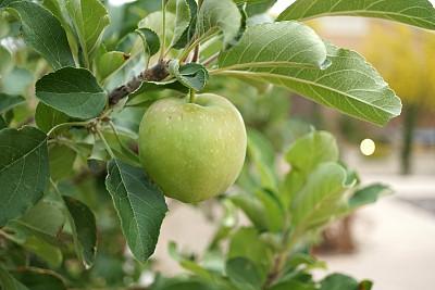 苹果树,活力,农业,清新,食品,环境,枝繁叶茂,自然美,植物,落叶树