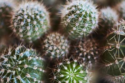 仙人掌,特写,大量物体,多色的,绿色,毛绒绒,可爱的,自然界的状态,小的,热带气候