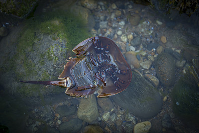 马蹄型蟹,怪异,热带气候,惊骇,动物,贝壳,户外,潮汐,鬃,自然