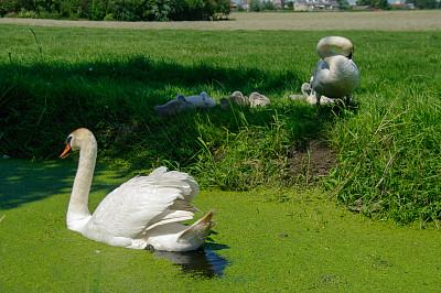 家庭,天鹅,小鸟,水生植物,可爱的,防洪堤,母亲,父亲,荷兰北部,草