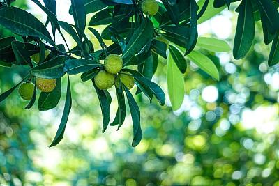 绿色,杨梅,农业,可爱的,蔬菜,清新,食品,浆果,熟的,成分