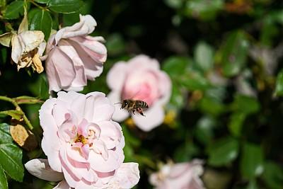 池塘,蜜蜂,巴伐利亚,德国,两翼昆虫,玫瑰,多样,仅一朵花,杂色的,色彩鲜艳