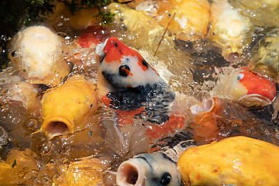 饥饿的,池塘,鲤鱼,自然,人,张着嘴,一个人,食品,图像,大群动物