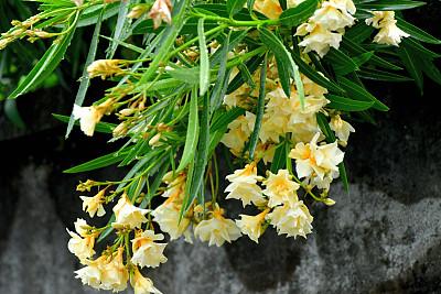 夹竹桃,生物,重瓣花,植物,路边,夏天,户外,有毒生物体,日本,常绿植物