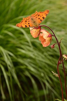 仅一朵花,水杨梅属植物,逗点蝴蝶,彩色背景,一只动物,自然美,夏天,花坛,蛱蝶科,在上面