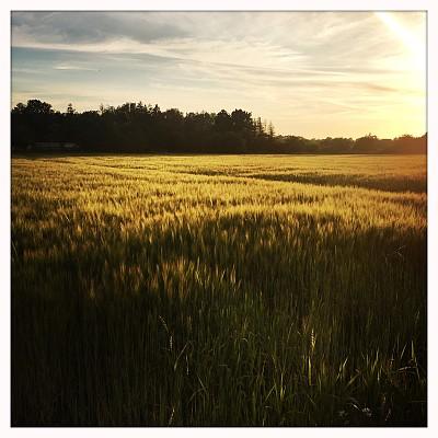 黄昏,农作物,田地,农业,景观设计,环境,草,自然美,植物,夏天