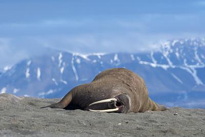 斯瓦尔巴德群岛,沙子,海象,山,海滩,背景,寒冷,自然界的状态,野生动物,雪