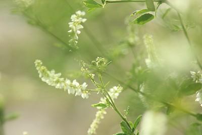 小的,白色,柔和,纯净,浪漫,枝繁叶茂,植物,户外,晴朗,自然