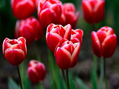 郁金香,红色,美国西北太平洋地区,华盛顿州,云景,佛能山,云,传统节日,史凯吉谷,农场