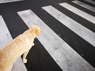狗,横越,街道,城市生活,斑马,纯种犬,沥青,交通,金毛拉布拉多猎犬,动物