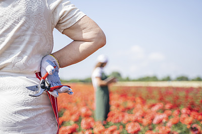 The peak оf the decorative rose harvest in the agricultural cultivated fields.