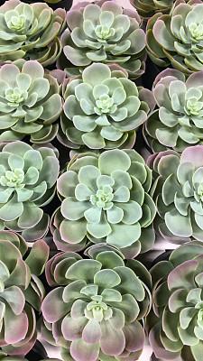 花盆,仙人掌,粉色,室内植物,叶子,壁纸,背景,室内,图像,绿色