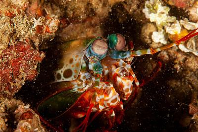 虾蛄,孔雀,活力,热带气候,水面,色彩鲜艳,动物,水下,浮潜,印度尼西亚