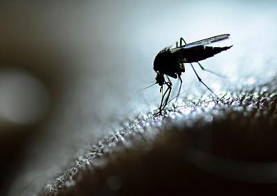 蚊子,野兔病,脑炎,黄热病,自然,图像,水平画幅,特写