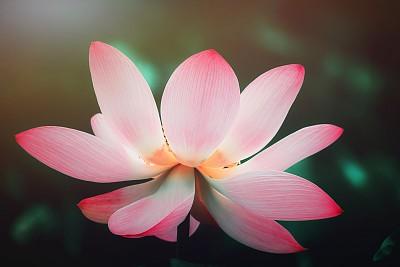 夏天,荷花,色彩鲜艳,色彩饱和,白色背景,粉色,绿色,花纹,芳香的,热带气候
