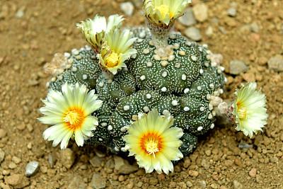 仙人掌,热带气候,环境,天气,生物,沙漠,植物,夏天,日本,开花植物