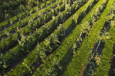苹果树,果园,成一排,在上面,农业,有序,波兰,草,农场,水果
