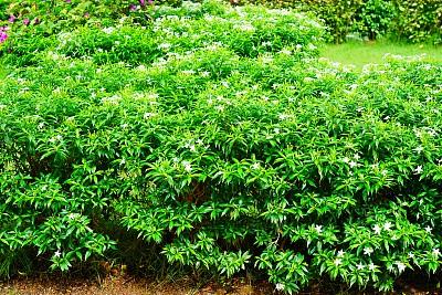 灌木,茉莉,园林,活力,热带气候,泰国,枝繁叶茂,草,小的,植物