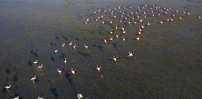 火烈鸟,航拍视角,湖,湿,动物主题,土耳其,环境,野生动物,动物群,禅宗