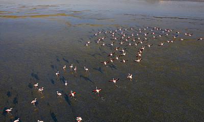 火烈鸟,航拍视角,湖,湿,动物主题,土耳其,野生动物,环境,禅宗,色彩鲜艳