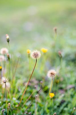 仅一朵花,草,背景,自然,选择对焦,抽象,湿,草坪,蒲公英,春天
