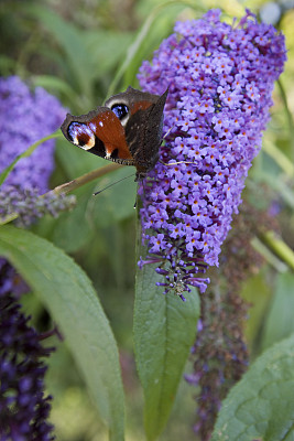 孔雀铗蝶,野生动物,圆锥花序植物,英国,翅膀,英格兰,孔雀,低对比度,植物,落叶树