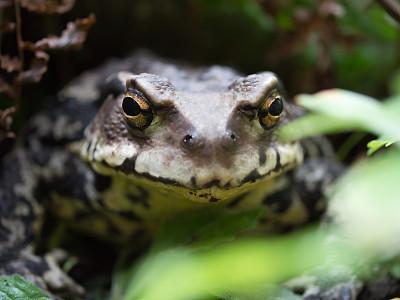 牛蛙,自然,动物主题,野生动物,图像,青蛙,野外动物,生物,动物,无人