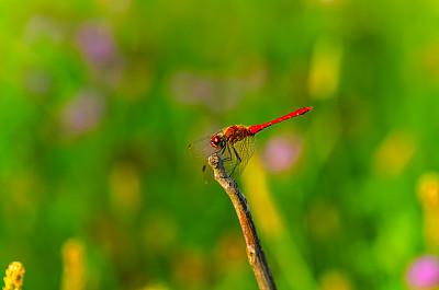 自然美,蜻蜓,红松,生物学,动物主题,菜园,环境,野生动物,肖像,翅膀