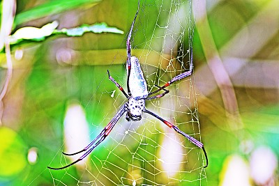 蜘蛛,蜘蛛网,叶子,绿色,草坪,动物主题,环境,泰国,动物腿,腿