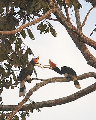 犀牛鸟,一对,动物习性,热带雨林,动物交配,垂直画幅,喙,图像,雪兰莪州,马来西亚