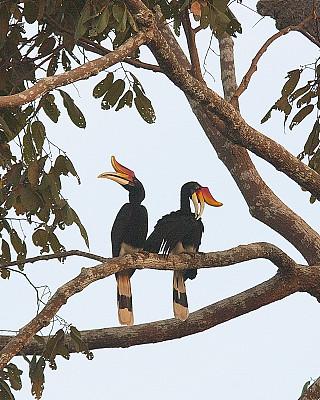 犀牛鸟,整羽,一对,动物习性,热带雨林,垂直画幅,喙,图像,雪兰莪州,马来西亚