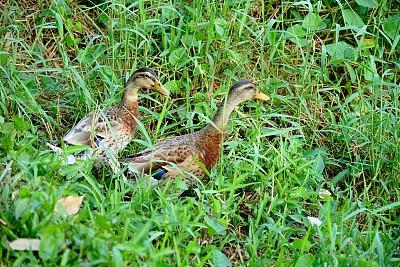 鸭子,褐色,泰国,脊椎动物,公园,草,池塘,动物,鸟类,两只动物
