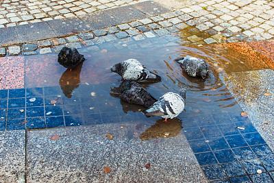 鸽子,股票,水坑,在之间,都市风光,平衡折角灯,湿,沥青,灰色,野生动物