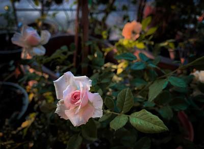玫瑰,粉色,清新,浪漫,泰国,仅一朵花,色彩鲜艳,香水,自然美,春天