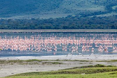 火烈鸟,安静,世界遗产,野生动物,环境,橙色,环境保护,坦桑尼亚,动物群,萨凡纳港市