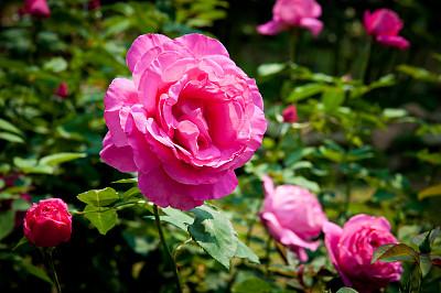 玫瑰,粉色,园林,背景,清新,浪漫,婚礼,自然美,春天,植物
