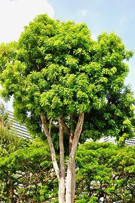 桃花心木,非洲,自然,新加坡,垂直画幅,风景,环境,图像,枝繁叶茂,宁静
