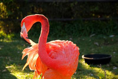 整羽,粉色,图像,脖子,加拿大,日光,火烈鸟,颈,动物,鸟类
