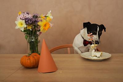 生日,蛋糕,杰克拉瑟短腿犬,庆祝