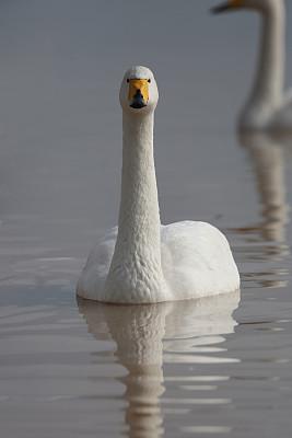 天鹅,湖,白色