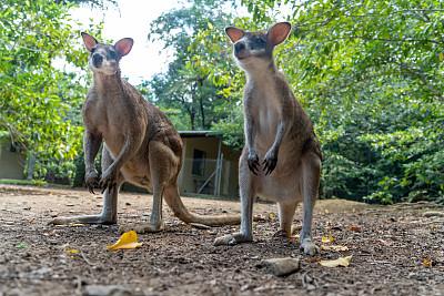 小袋鼠,昆士兰州,澳大利亚,美树河国家公园,热带气候,枝繁叶茂,动物,植物,热带树
