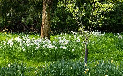 春天,水仙花,清新,新年前夕,英国,英格兰,草,自然美,多花水仙
