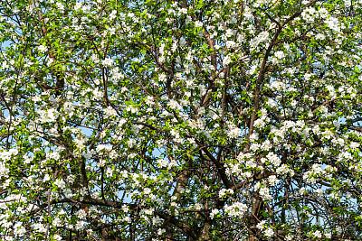蓝色,背景,白色,花朵,苹果树,充满的,天空,枝繁叶茂,花,褪色