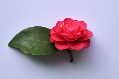 红色,茶花,嫩枝,仅一朵花,紫色,分离着色,湿,清新,背景分离,爱
