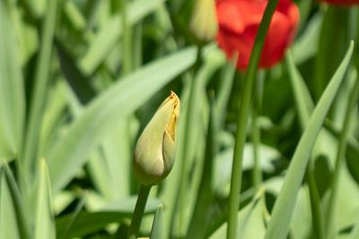 郁金香,花蕾,清新,自然美,春天,植物,背景,夏天,花