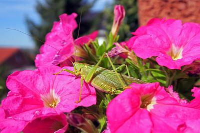 蚱蜢,绿色,动物腿,矮牵牛花,一只动物,动物,四肢,植物,动物肢和翼,花