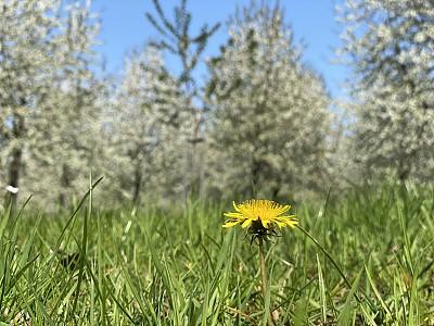 果园,蒲公英,农业,视点,钟塔,草,苹果花,花的组成部分,乡村风格,植物