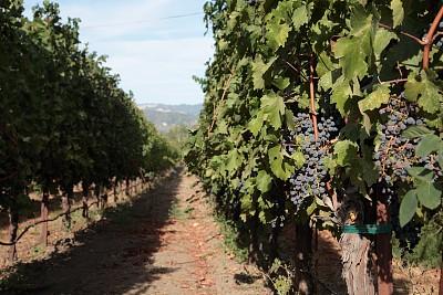 加利福尼亚,葡萄园,美国,那帕谷,农业,葡萄酒酿造,熟的,枝繁叶茂,树干,葡萄酒厂